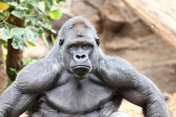 Image result for alpha male gorilla