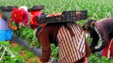 إسبانيا ترغب في تشغيل أزيد من 16 ألف عاملة مغربية بحقول الفراولة والفواكه الحمراء