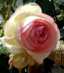 rose Pierre de rossard