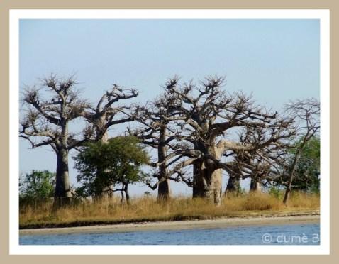 baobab, arbre de la Térenga
