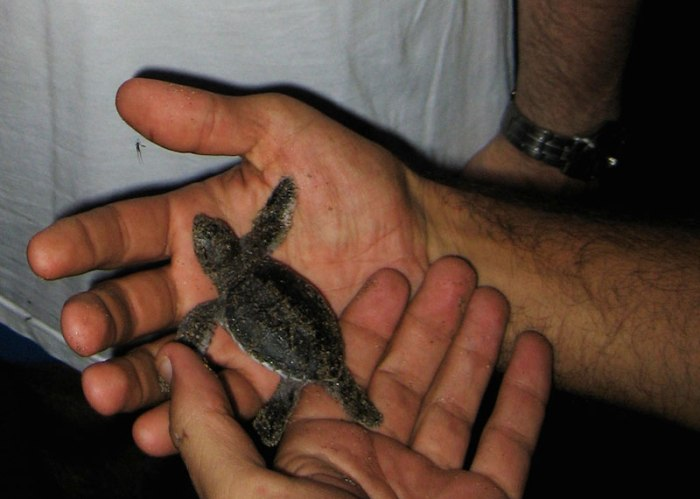 jeune tortue