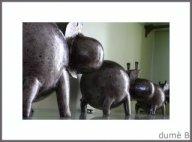 hippos rigolos