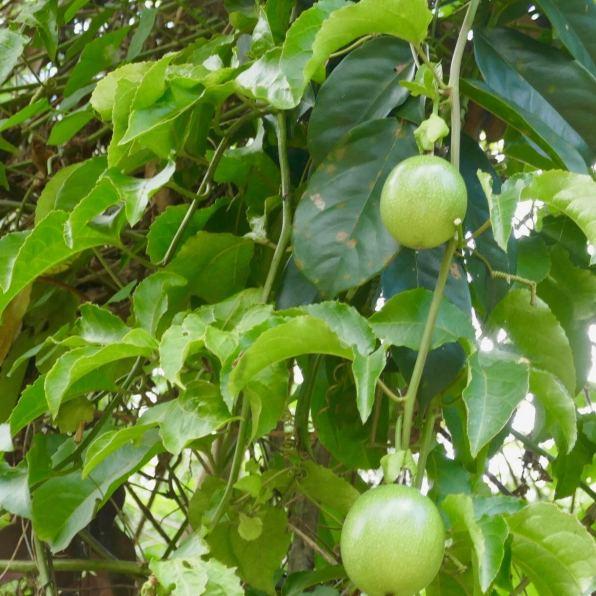 liane de fruits de la passion