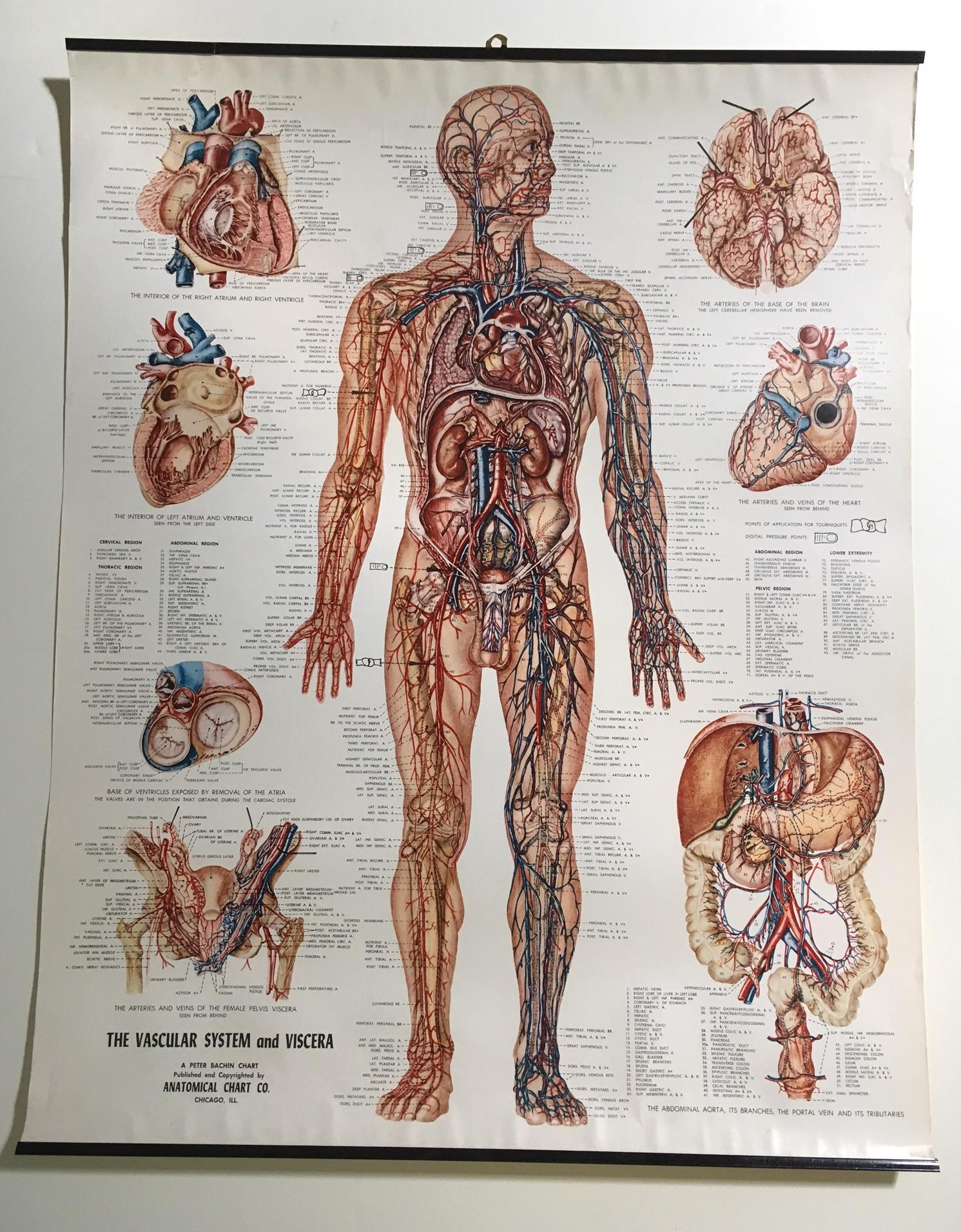 This is  beautiful vintage chart of the vascular system published by anatomical company also mid century and viscera rh chairish
