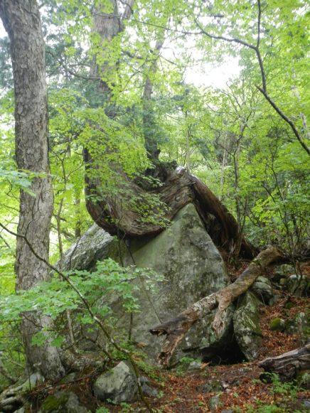 岩を抱えて生きる木