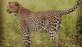 Leopard Sabi sands