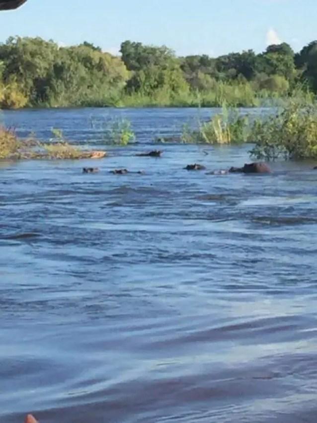 Hippos on the Zambezi river cruise