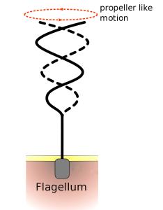 flagellum-beating
