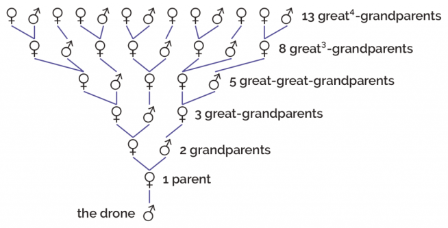Family tree of honeybees