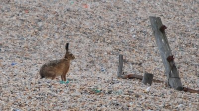 Hare at Chesil beach