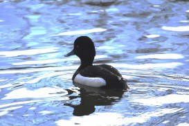 Tufted Duck at Radipole