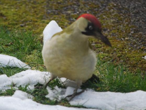 Green woodpecker 1 (2)