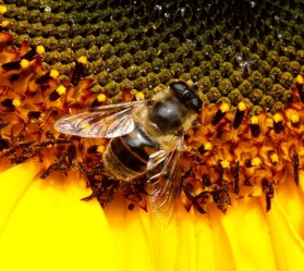 Local honey bee enjoying a sunflower