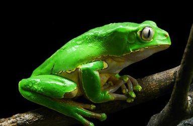 Kambó, la rana que cura