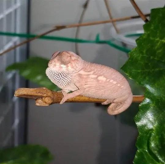 baby chameleon sleep