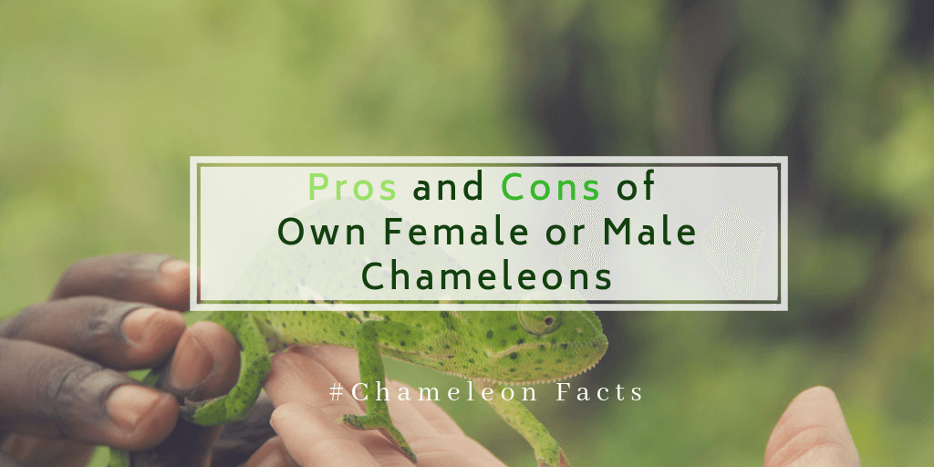 Pro and con of own female or male chameleons