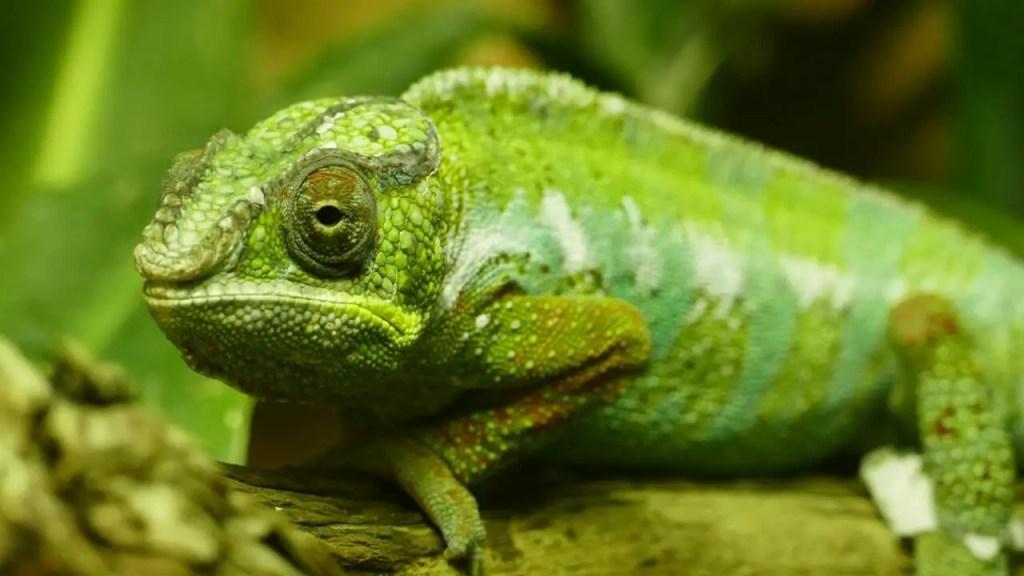 chameleon ear
