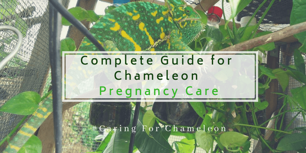 Chameleon pregnancy care