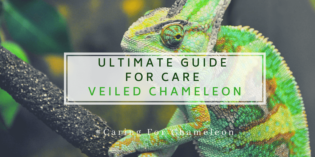 ULTIMATE GUIDE FOR CARE VEILED CHAMELEON