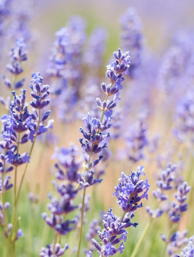 Guide to Culinary Lavender