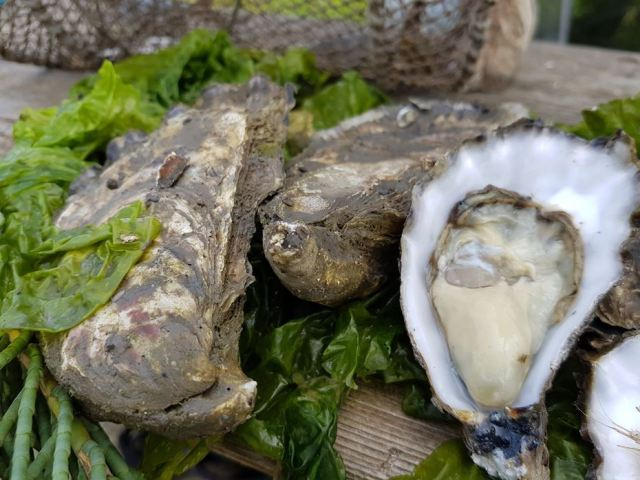Very Oyster huitres ostras oysters