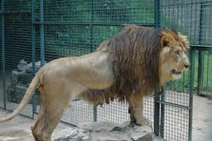 Addis Ababa LionImage via Scientific American