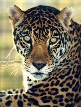 Jaguar (Panthera onca)Image: Wikipedia