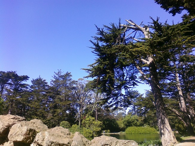 Broken pine on Stowe Lake Photo: PK Read