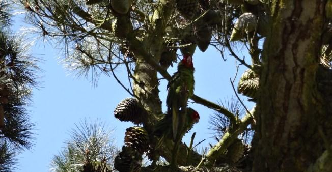 Red-masked parakeetsAratinga erythrogenys