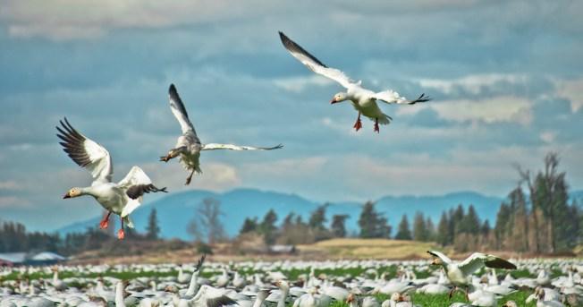 Flock of snow geese on unflooded farmland in Skagit ValleyPhoto: Mesa Schumacher