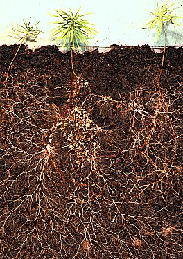 Larch roots with mycorrhizal fungi. All the white roots on the Larch seedlings in picture are 'Friendly Fungi' roots, the thicker red/brown roots are the Larch's roots. This fungal network increases the volume of soil explored by the plant by up to 700 times. Via: Buckingham Nurseries, UK