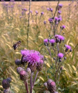 Bees in a field near my house. Photo: PK Read