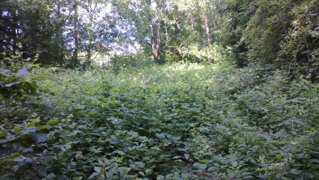 A hidden blackberry patch. Photo: PK Read