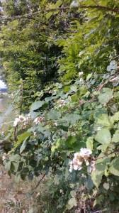 Blackberry blossoms Photo: PK Read