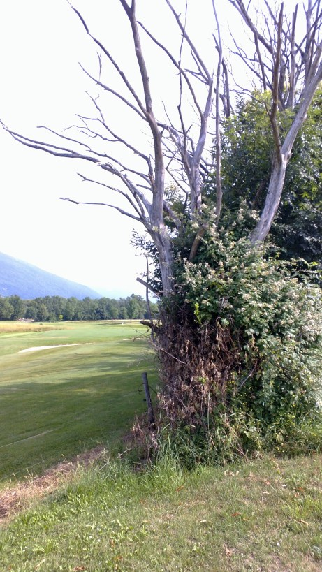 Golf course hedgerow. Buckets of berries here, but the trees along the golf course don't look very healthy. Photo: PK Read