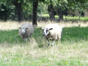 Eager sheep Photo: PK Read