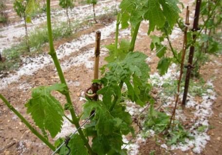 Swiss vineyard after a hailstorm Photo: Les News