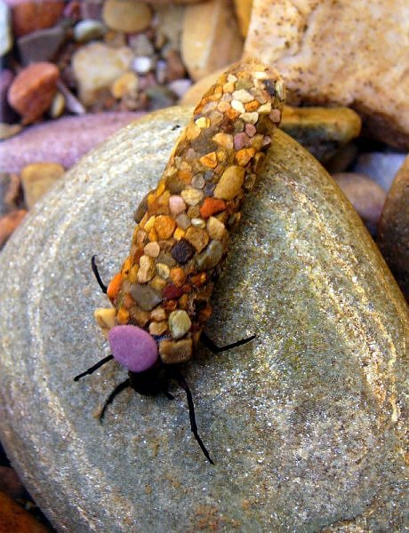Caddisfly  Photo: heatherkh/Flickr