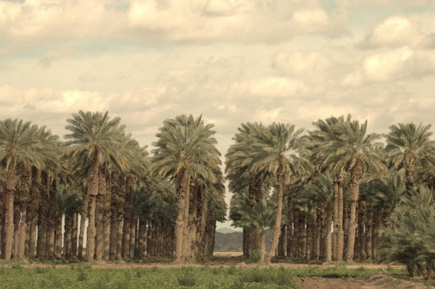 Modern date grove. Pre-Roman palm groves grew 7 miles wide. Date palms in modern Israel were imported mainly from California. Photo: Brett Smith