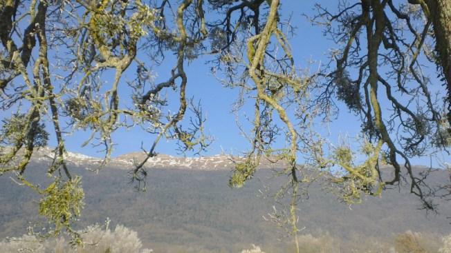 Mistletoe hangs in a tree near our house