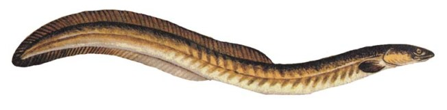 American eel (Anguilla rostro.) Image: Sidhat
