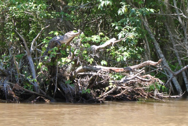 A sub-adult American alligator (Alligator mississippiensis) perching on a tree branch in Pearl River Delta, Mississippi. Photo: Kristine Gingras / Herpetology Notes
