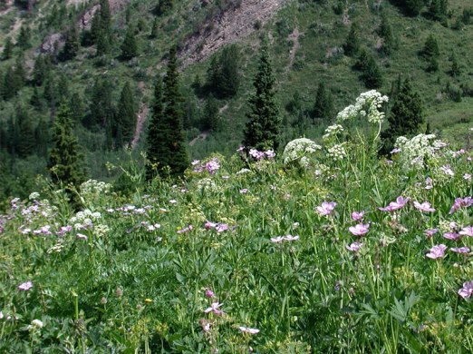 Tall forb park, Swift Creek Research Natural Area, Montana. Photo: Susan Marsh / Bridger-Teton National Forest.