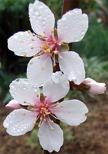 Almond blossom Photo: Golona