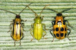 Mature corn rootworm beetles. Photo: Univ. of Nebraska/FreeGeorge