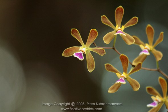 Florida Butterfly Orchid (Encyclia tampensis) Photo: Florida Native Orchids