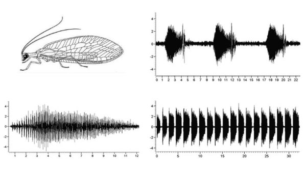 Images of lacewing songs. Source: PBS