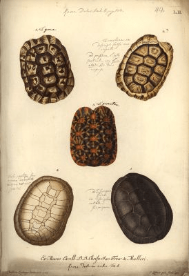 Five kinds of tortoise shell (1767) Source: Leitner/Humboldt-Universität zu Berlin, Museum für Naturkunde