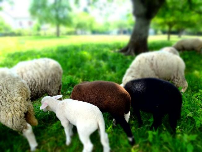 Lamb diversity.