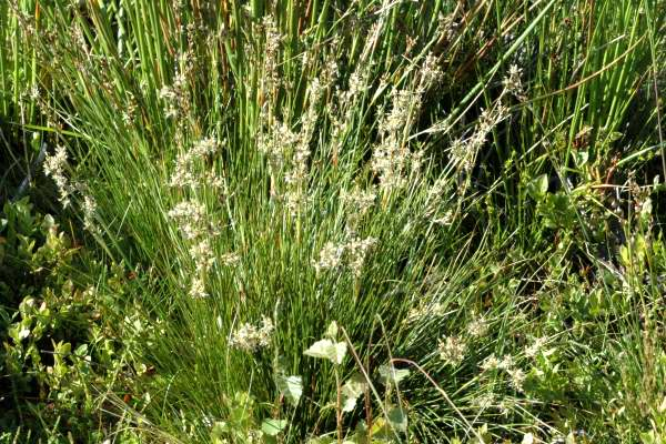 Heath rush (Juncus squarrosus), which invaded Finland during WWII